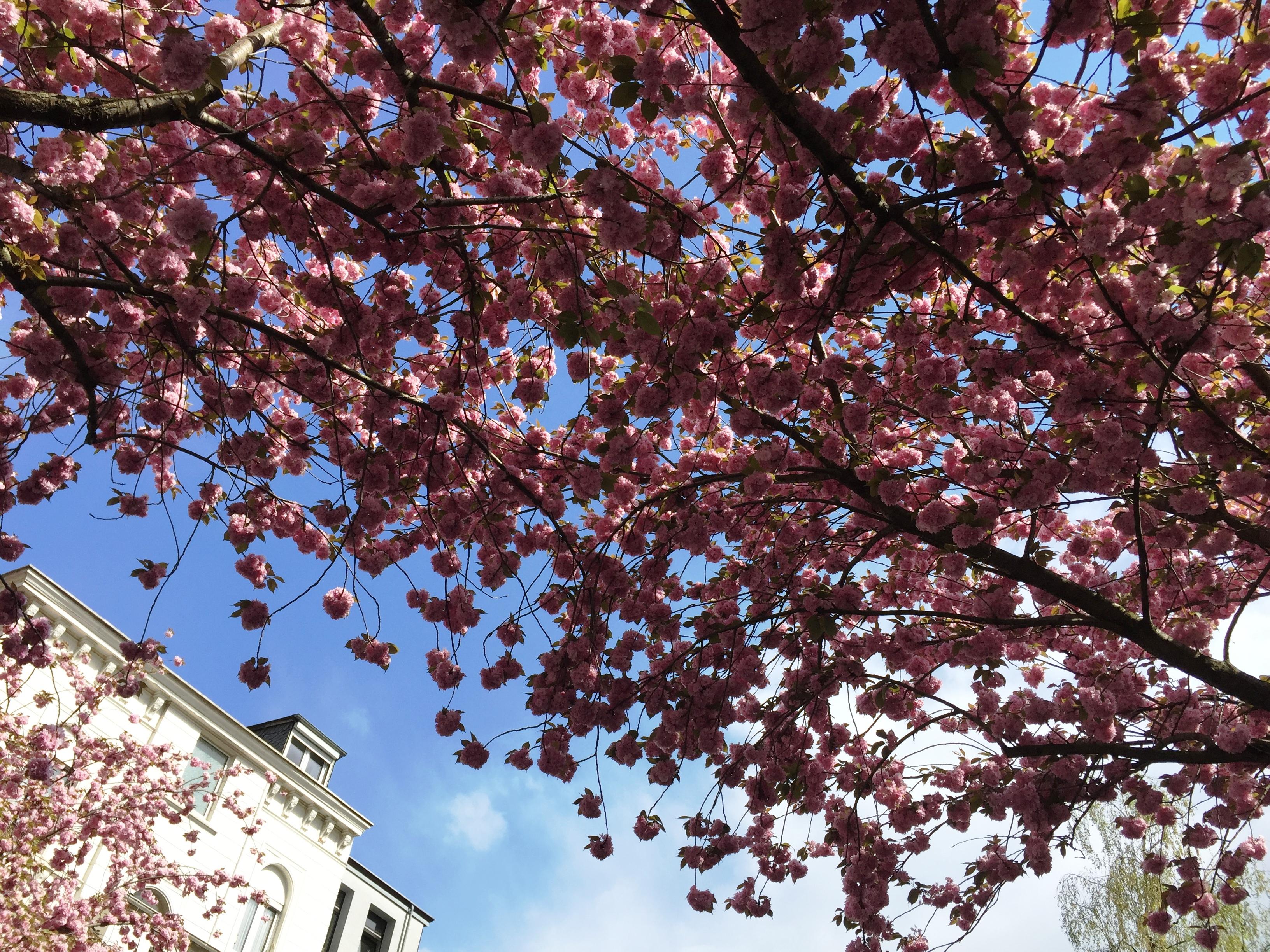 Kirschblütenfest in Bonn