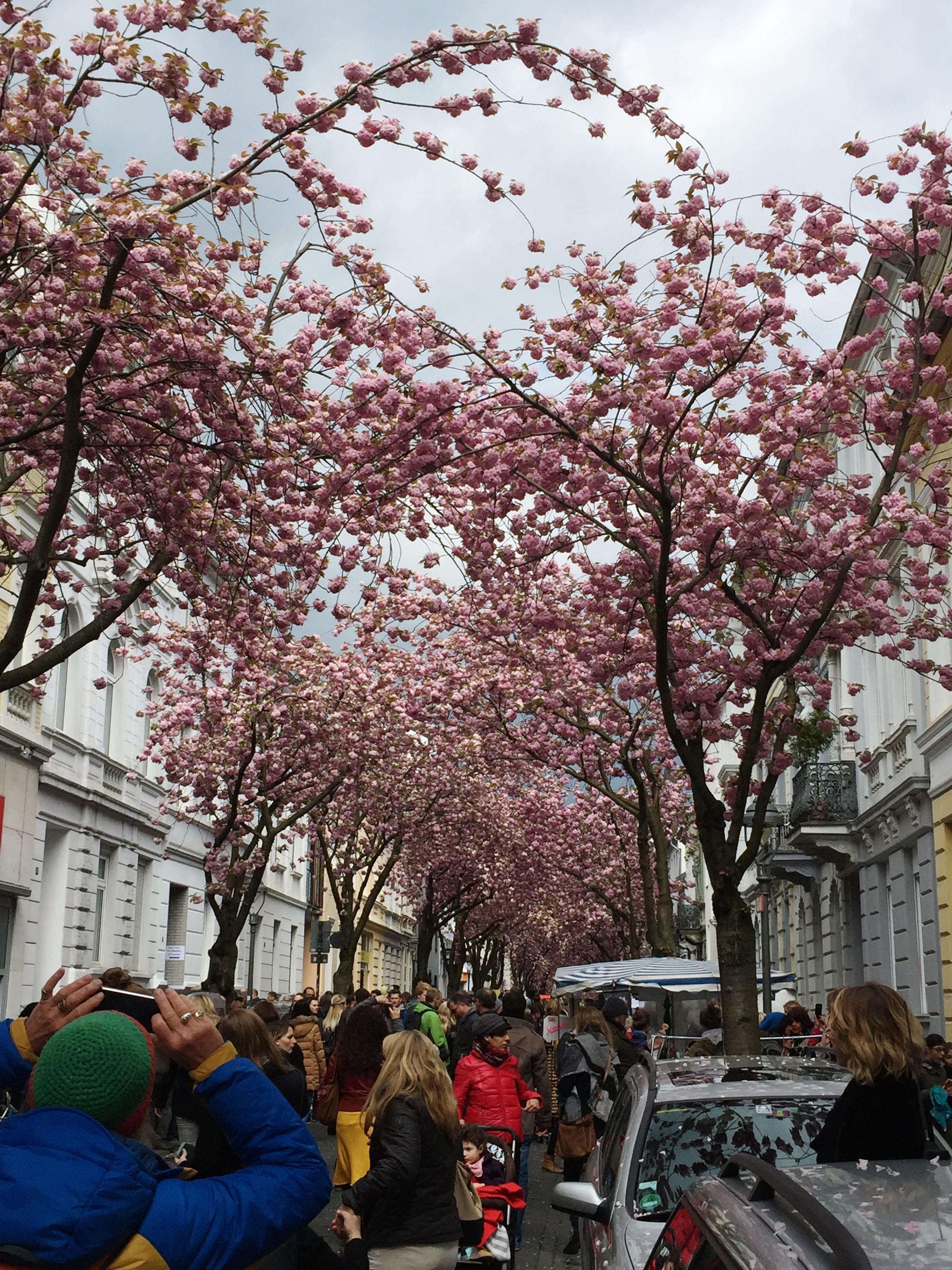 Kirschblütenzeit in der Bonner Heerstraße