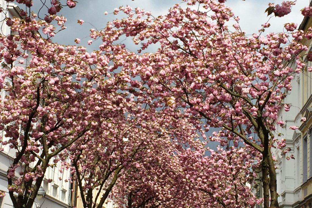 Kirschblütenzeit: Bonn im Rausch aus rosa Blüten 18