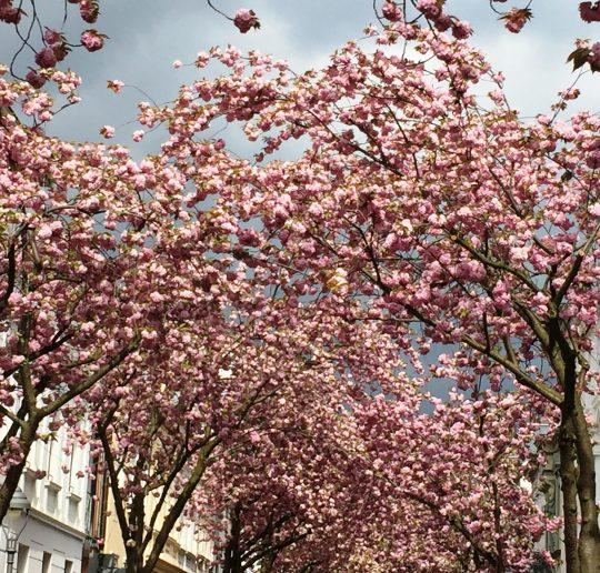 Kirschblütenzeit: Bonn im Rausch aus rosa Blüten 10
