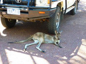 Unser Hausgast, ein kleines Känguruh