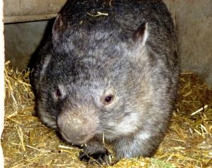 Wombat, Animal Farm Kangaroo Island