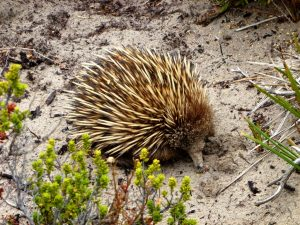 Echidna, Kangaroo Island