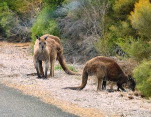Logisch gibt es Känguruhs auf Kangaroo Island