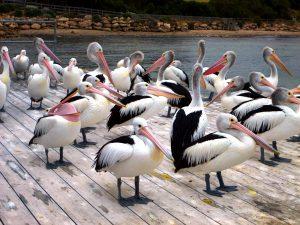 Pelikane, Kangaroo Island