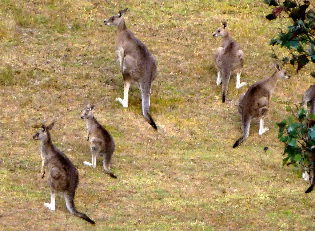 Känguruh Treffen in Warrandyte, Melbourne Australien