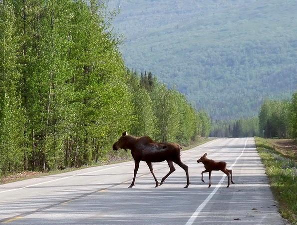 Elche überqueren den Highway in Kanada
