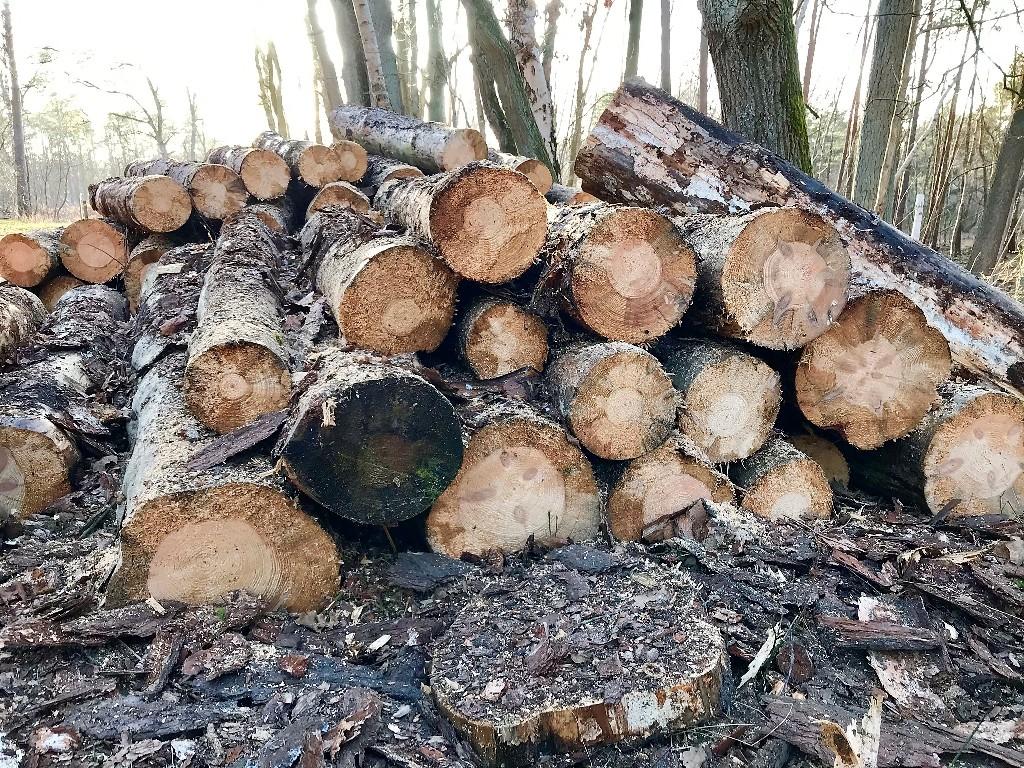 Baumstämme mit minderwertiger Qualität, wie hier in der Gifhorner Heide (Foto Kultreiseblog)
